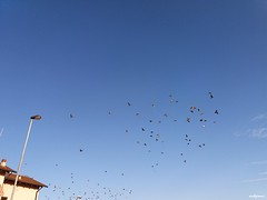 chiasso in cielo (archgionni) Tags: uccelli birds cielo sky azzurro blue lampione lamp rumore rumor volare fly tetto roof thisphotorocks