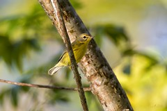 Prairie Warbler (Jay Paredes) Tags: bird warbler prairiewarbler setophagadiscolor gumbolimbotree burserasimaruba migration coconutcreek browardcounty florida backyard