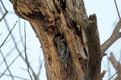 Yellow-bellied Sapsucker (U.S. Fish and Wildlife Service - Midwest Region) Tags: bird birding woodpecker sapsucker animal nature wildlife