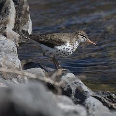 Spotted Sandpiper (U.S. Fish and Wildlife Service - Midwest Region) Tags: bird birding sandpiper animal nature wildlife
