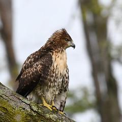 Red-tailed Hawk (U.S. Fish and Wildlife Service - Midwest Region) Tags: bird birding hawk redtailedhawk animal nature wildlife