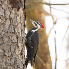 Pileated Woodpecker (U.S. Fish and Wildlife Service - Midwest Region) Tags: bird birding pileatedwoodpecker woodpecker animal nature wildlife