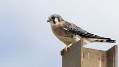 American Kestrel (U.S. Fish and Wildlife Service - Midwest Region) Tags: bird birding kestrel falcon animal nature wildlife