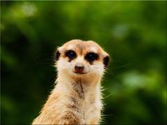I wish you a good start into the new week (Ostseetroll) Tags: cze geo:lat=5011971762 geo:lon=1440688450 geotagged praguezoo praha7troja tschechien erdmännchen meerkat em5markii olympus