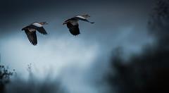 Flight into the Day (hardy-gjK) Tags: birds geese vögel oiseaux gänse goose loie natur wildlife nature flug fly flight morning tag day jour nilgans egyptian hardy nikon rising sun sunrise levant