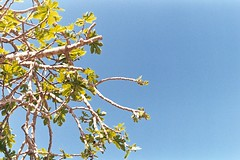 (Yutaka Seki) Tags: tongoy chile southamerica travel film analogue pentaxmesuper homedeveloped unicolorpresskit pakonf135 tree leaves sky