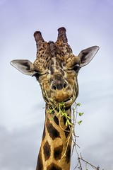 Giraffe Portrait (Charles Patrick Ewing) Tags: giraffe animal animals nature natural sky portrait portraits sony candid eating pretty beautiful new all everything fave favorite blue yellow orange landscape skyscape flickr discovered time photo photography