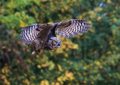 Virginia Uhu/Virginia eagle owl (babsbaron ( Bella )) Tags: nature naturephotographie tiere tierfotografie animals animalphotographie vogel vögel birds eulen owls uhu virginia wildpark tierpark animalpark lüneburgerheide