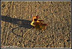 HOJA DE OTOÑO BAJO EL ATARDECER. AUTUMN LEAF UNDER THE SUNSET. NEW YORK CITY. (ALBERTO CERVANTES PHOTOGRAPHY) Tags: autumnleafunderthesunset leaf under autumn sunset dusk twilight nightfall otoño retrato portrait goldenhour golden hour indoor outdoor blur macro closeup bokeh luz light color colores colors brillo bright brightcolors photography streetphotography photoart art creative photoborder sombra shadow reflejo reflection maple arce