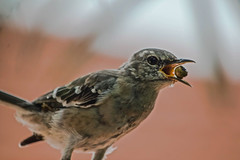 Didn't Your Mom Tell You Not To Talk With Food In Your Mouth? (ACEZandEIGHTZ) Tags: bird macro closeup mockingbird nikond3200 backyard birdwatcher mimuspolyglottos gray bokeh beak feathers wings