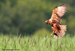 Dropping to nest with prey (Ted Humphreys Nature) Tags: malemarshharrier marshharriers harriers birdsofprey raptors predators leightonmoss england tedhumphreysnature