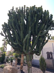 IMG_2916 (rugby#9) Tags: cactus cacti loscristianos canaries tenerife canaryislands plant tree trees palmtree palmtrees apartment apartments