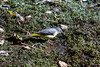 Grey Wagtail - feeding