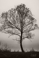 A Lone Bay Tree (antoniuz) Tags: nature algonquin lake canada