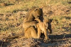 049 I Wonder Where This Guy Got His Medical Degree - Chobe National Park, Botswana  2019 (directordj) Tags: 2019 botswana chacmababoon chobenationalpark oat overseasadventuretravel wildlife