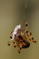 That's a Wrap! (murraymike89410) Tags: sequim washington 100mmlmacro arachtober spider