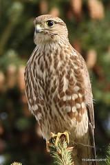 Merlin (YEGBirder) Tags: beaumaris lakebeaumaris lakebeaumarisedmonton merlin bird prey