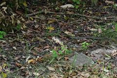 Chinese Cobra 3 (Bob Hawley) Tags: asia taiwan kaohsiung metropolitanpark nikond7100 nikon80200mmf28af snakes diurnal nature wildlife animals chinesecobra najaatra venomous poisonous leaves grass injured injuries scarred scars