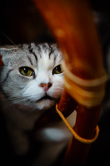 Female Scottish Fold2 (neco_onsen) Tags: cat planar zeiss