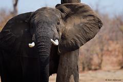 Itching ear (leendert3) Tags: leonmolenaar southafrica krugernationalpark wildlife wildanimal wilderness nature naturereserve naturalhabitat mammal africanelephant