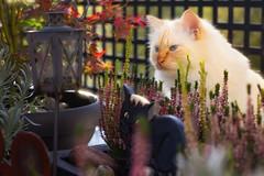Why so grumpy ? (FocusPocus Photography) Tags: tofu dragon katze kater cat heide heather herbst autumn garten garden mürrisch grumpy