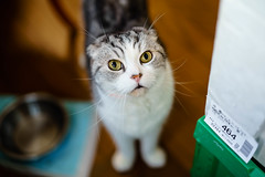 Female Scottish Fold (neco_onsen) Tags: cat planar zeiss