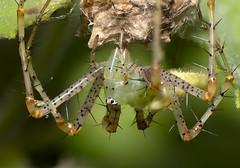 Green Lynx Spider (PeterBrannon) Tags: peucetiaviridans greenlynxspider spider macromonday macro nikkor105mm imagestacking florida wildlife nature garden