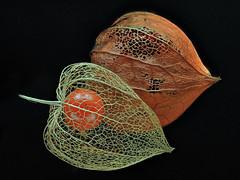 Chinese Lanterns (Physalis Alkekengi) (Nick_Fisher) Tags: chinese lantern physalis alkekengi nickfisher zerene stacker olympus macro omd em10 mark ii