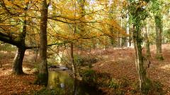 New Forest NP, Hampshire, UK (east med wanderer) Tags: england hampshire uk newforestnationalpark forest woodland stream highlandwater autumn ivy oak beech bracken leaves