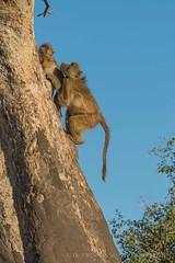 048 Chacma Baboon Helps Baby Climb the Tree - Chobe National Park, Botswana  2019 (directordj) Tags: 2019 botswana chacmababoon chobenationalpark oat overseasadventuretravel wildlife