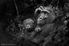 Protected (hvhe1) Tags: nature wildlife wild endangered gorilla westernlowlandgorilla mother baby jungle congobrazzaville africa gorillagorillagorilla gorilledesplainesdel'ouest westlicherflachlandgorilla hvhe1 hennievanheerden blackandwhite bw bravo