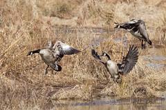 Noisy Trio (zxgirl) Tags: 100400mm 7dmii alexandria cang gbbc gbbc2017 jacksonabbottwetlands va animals birds flying geese nature waterfowl wetlands winter fortbelvoir virginia unitedstates