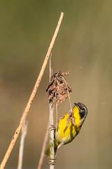 Common Yellowthroat on a Shrub (SCSQ4) Tags: bird birdphotography branch california commonyellowthroat favorite favoritepicture irvine perched sanjoaquinwildlifesanctuary shrub sideways