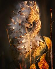 Milkweed 2 (wfgphoto) Tags: milkweed sunshine seeds pods fly