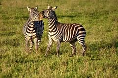 Ngorongoro (Enrica F) Tags: ngorongoro tanzania áfrica nikon wildlife safari nature