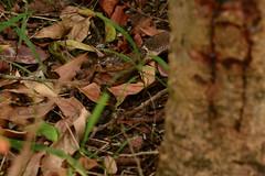 Scarred Cobra's head (Bob Hawley) Tags: asia taiwan kaohsiung metropolitanpark nikond7100 nikon80200mmf28af snakes diurnal nature wildlife animals chinesecobra najaatra venomous poisonous leaves grass injured injuries scarred scars