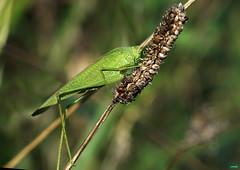 Saltamontes verde