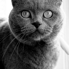Maya (henrynobru) Tags: cat animal eye pet fur looking kitten grey snout gray indoor abyssinian britishshorthair manx felidae camera head carnivore domestic front portrait eyes ear domesticshorthairedcat face closeup standing