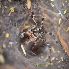 Funnel Weaver - Arachtober 21 (jciv) Tags: spider mission texas unitedstatesofamerica file:name=dsc04239 macro arachnid