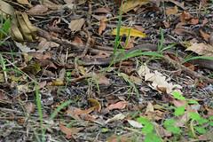 Scarred Cobra (Bob Hawley) Tags: asia taiwan kaohsiung metropolitanpark nikond7100 nikon80200mmf28af snakes diurnal nature wildlife animals chinesecobra najaatra venomous poisonous leaves grass injured injuries scarred scars