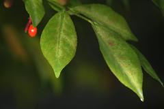 Burning Bush And Berries (Modkuse) Tags: burningbush leaves nature natural natureart art artphotography artistic artisticphotography photoart fineartphotography fineart nopostprocessing fujifilm fujinon fujifilmxt2 xt2 fujinonxf55200mmf3548rlmois xf55200mmf3548rlmois colorful colors