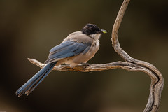 Iberian Azure-winged Magpie / Blauwe ekster (Wim Hoek) Tags: wildlife extremadura nature birds spanje outdoor zangvogels 2019 blauweekster kraaiachtigen corvidae cyanopicacooki diereninhetwild iberianazurewingedmagpie jaar natural naturalbeauty natuur passerine passerines singingbirds songbirds songbird songster spain vogels naturalbackground jaraicejo cáceresprovince