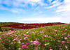 Red Hill (Tomo M) Tags: kochia cosmos flower landscape autumn plant sky bluesky cloud ひたち海浜公園