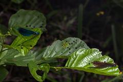 Looking at Girls - _TNY_0040S2 (Calle Söderberg) Tags: macro canon canon5dmkii canoneos5dmarkii canon5dmarkii 5d2 canonef100mmf28lmacroisusm flash godox thinklite tt685c plåtdiffusorv3 insect odonata damselfly demoiselle demoiselles peepingtom male female metallic flickslända jungfruslända leaf leaves blåjungfruslända beautifuldemoiselle calopteryx virgo watching blue green iridescent stensjödal tyresta tyrestanationalpark damsel zygoptera calopterygidae shiny courting darkwings veins blaufügelprachtlibelle prachtlibelle spying f11