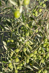 Viaje con amigos a Malcocinado (loren_garcia_lopez) Tags: 2019 malcocinado creo que buenaño aceitunas olivares