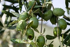 Viaje con amigos a Malcocinado (loren_garcia_lopez) Tags: olivares en malcocinado