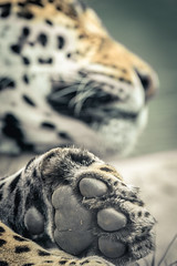 (mofred•) Tags: sauvage wild animal 80400 d500 felin chat cats cat leopard