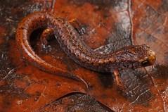 Four-Toed Salamander (Hemidactylium scutatum) (Ian Deery) Tags: sigma sony fall rain ecology herpetology nature deery ian closeup caudate amphibian herping herp georgia scutatum hemidactylium salamander salamanders fourtoed toed four
