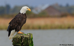 The King of the Castle (bcbirdergirl) Tags: baldeagle kingofthecastle raptor birdofprey eagle brunswickpoint delta bc haliaeetusleucocephalus