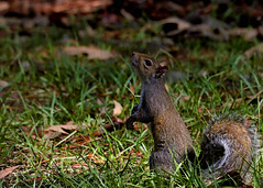 _DSC2579 (Paul_1961) Tags: nature nikond7200 sigma120400mm squirrel wildlife northwestflorida